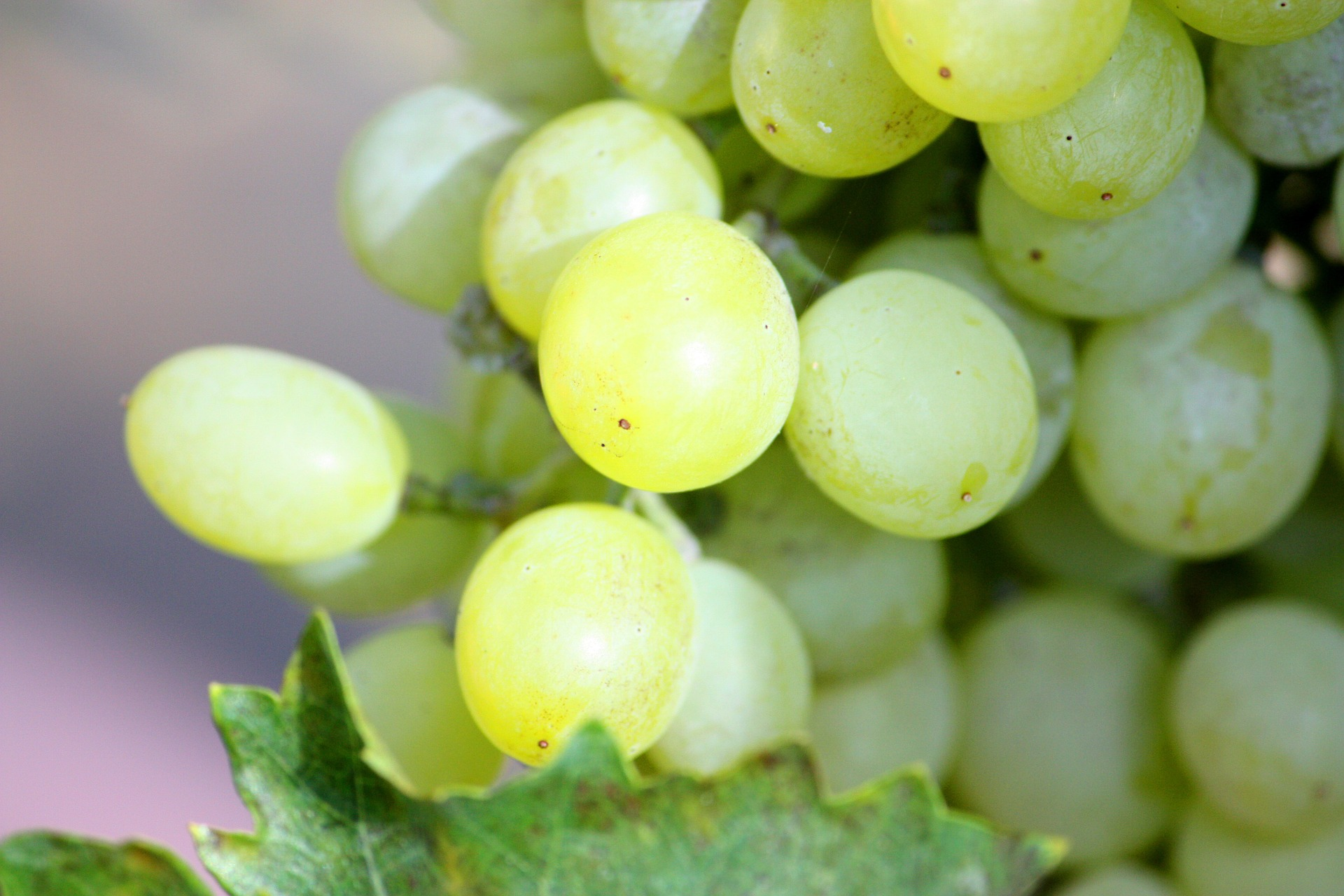 Champagne vineyard grapes